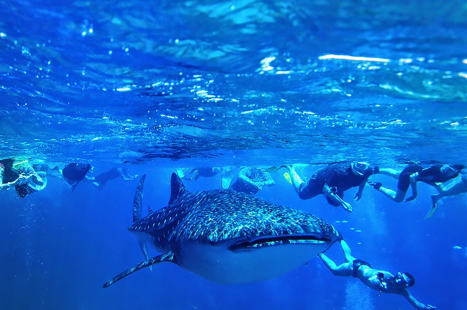 The whale shark expedition at Maafushivaru Maldives