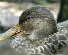 image of female duck