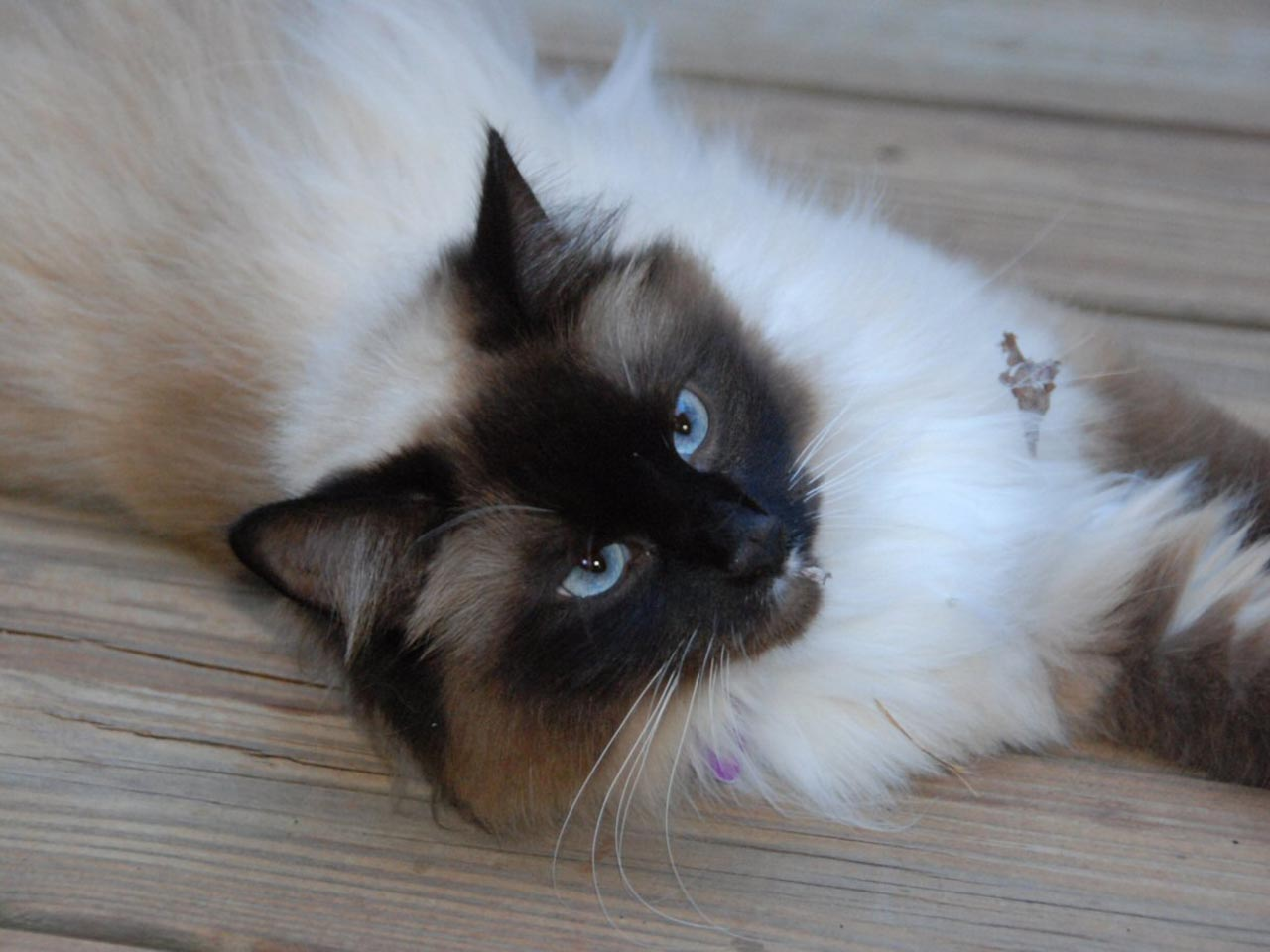 Birman Cat Wallpapers