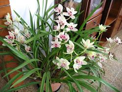 Orchidee 2011