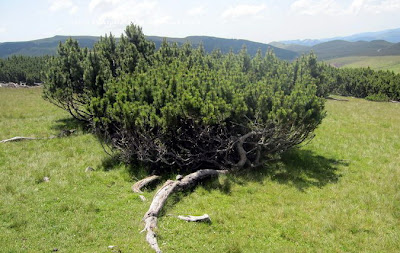 Wild Mugo Pine, Jneapan, grown on Bucegi Plateau, Romania