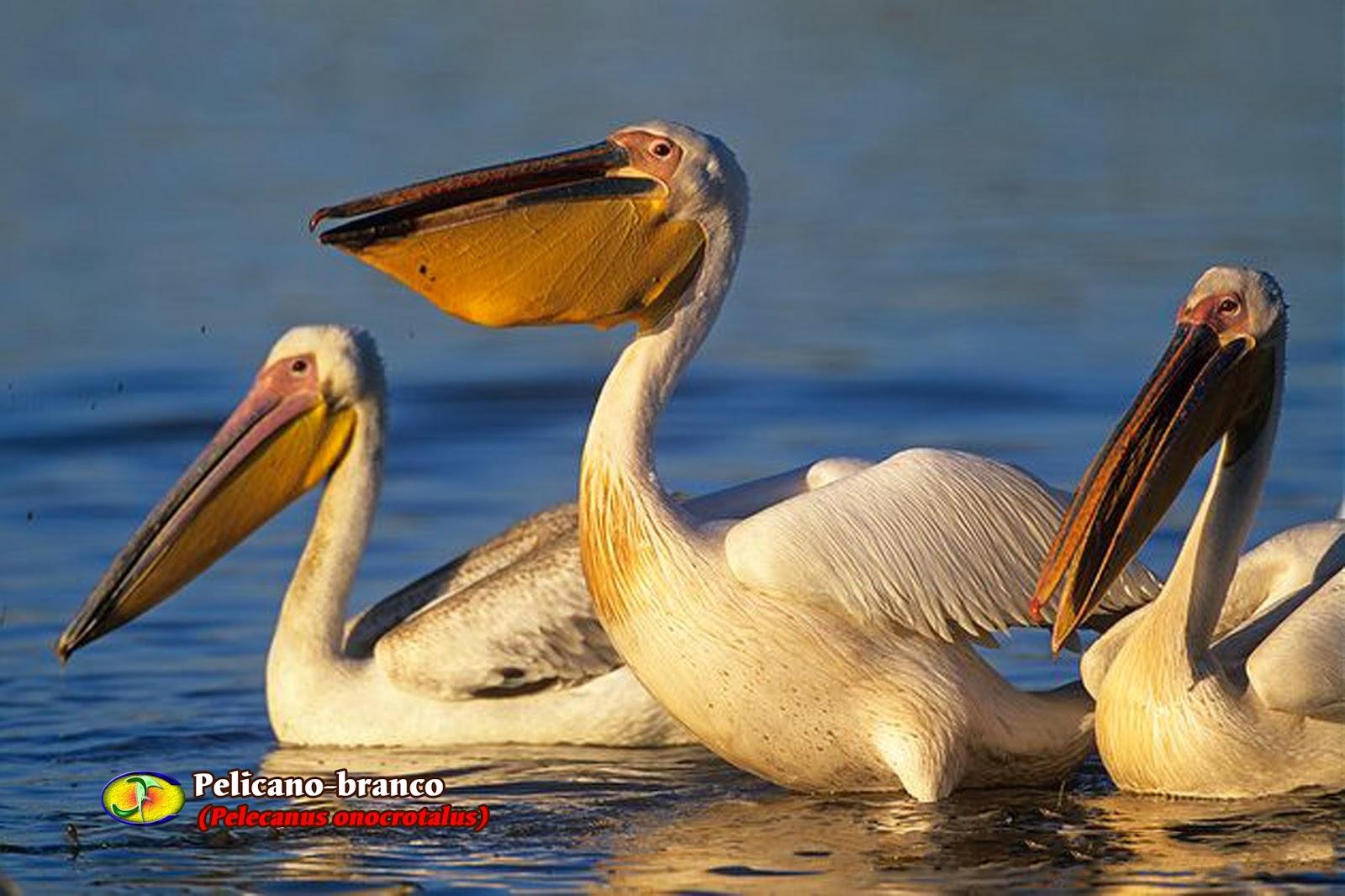 O Pelicano Na Maçonaria Zoologia: Pelicano-bra...