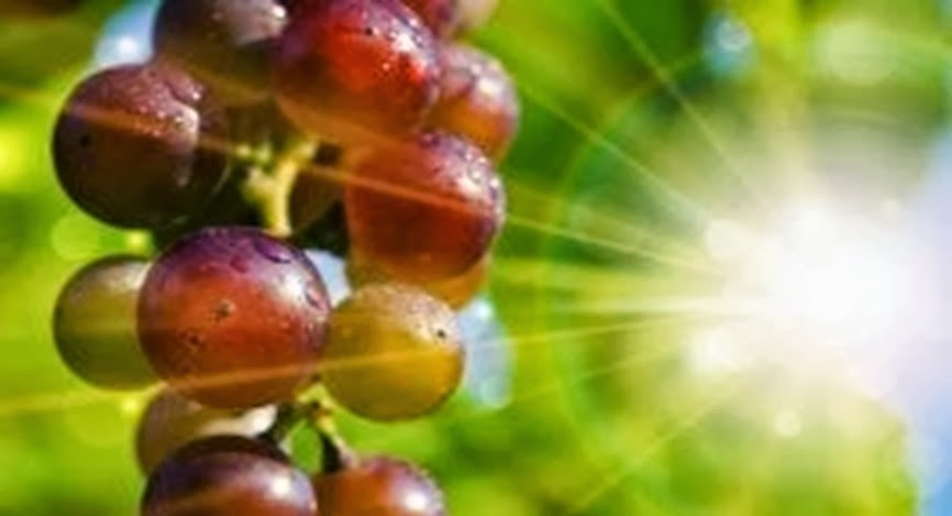 Grape Seed Extract Outperforms Chemo in Killing Advanced Cancer Cells
