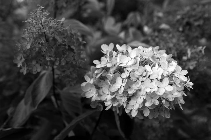 photo, Hydrangea arborescens, annabelle, hortensia, fleur, flower, © dominique houcmant