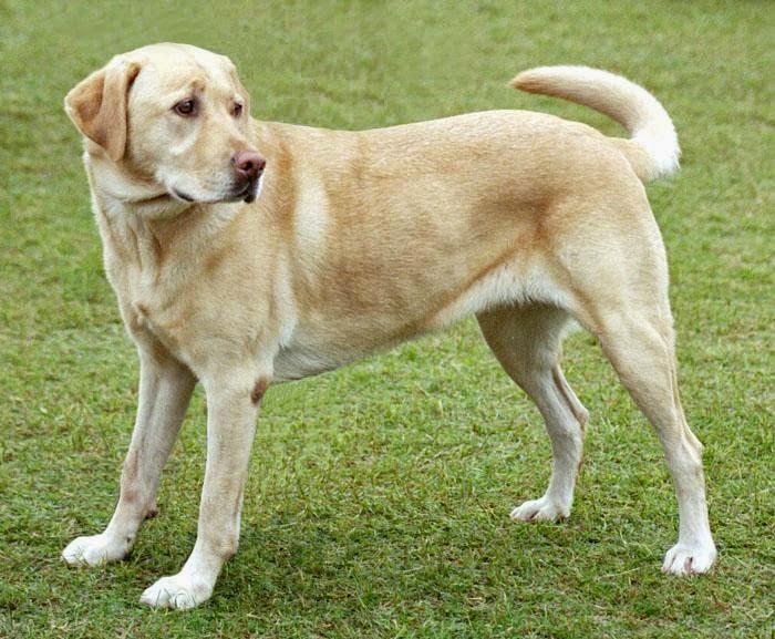 Labrador care, Labrador dog tick fever, Labrador pet health care