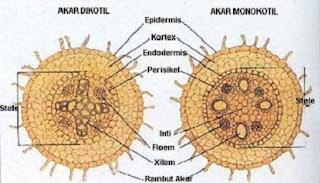 perbedaan batang dikotil dan monokotil,beserta gambar,secara anatomi,morfologi,struktur akar dikotil dan monokotil secara anatomi,pada akar,tabel perbedaan dikotil dan monokotil,beserta contohnya,