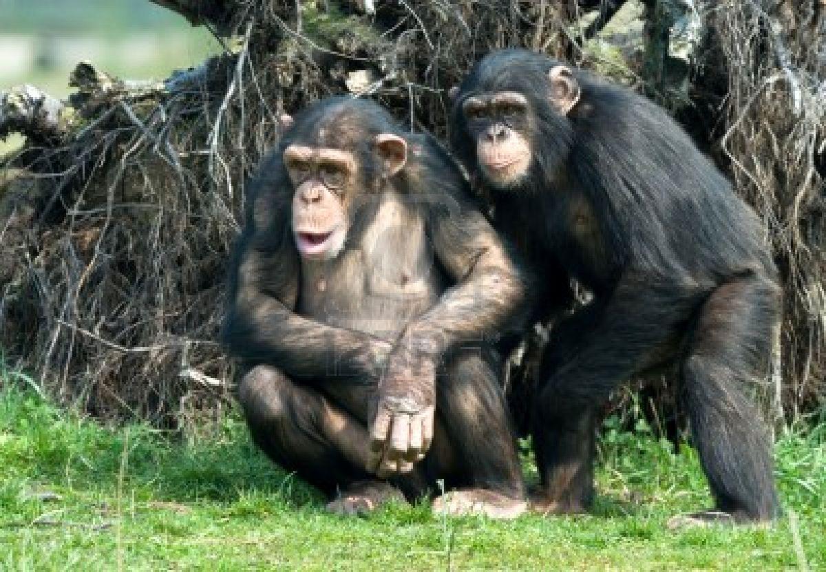 http://2.bp.blogspot.com/-KfVhIiMSVP0/TingW1G5HVI/AAAAAAAACWU/DTG16muikP8/s1600/2861896-close-up-of-a-cute-chimpanzee-pan-troglodytes.jpg
