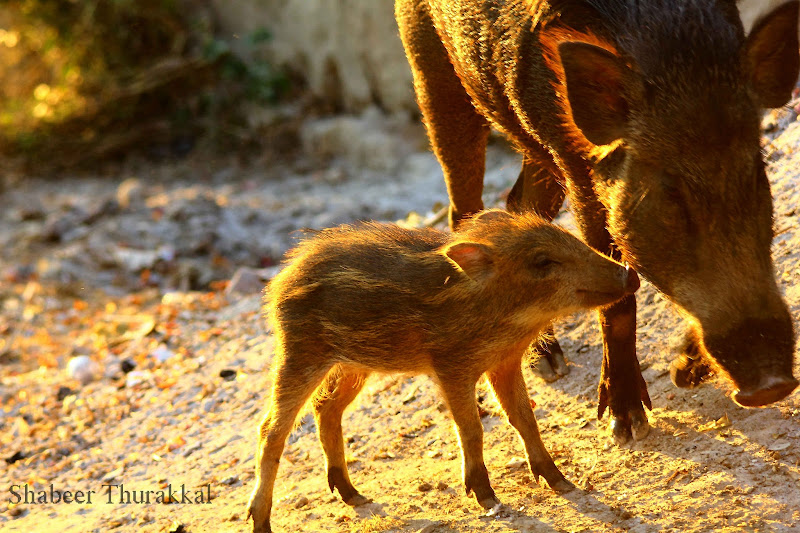 wild boar with kid animal