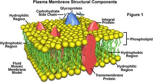 Darwin U0026 39 S God  Biological Control Of Cell Membrane