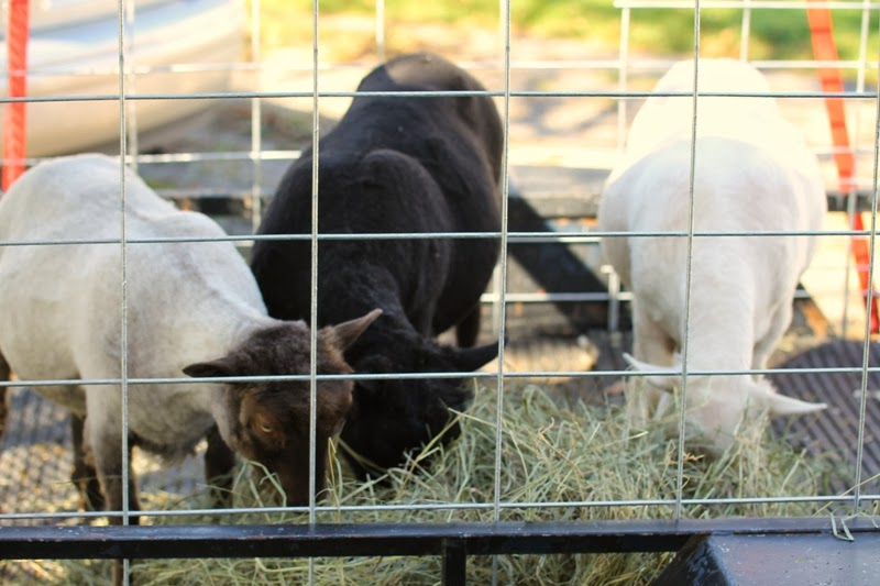 shorn Icelandic ewes