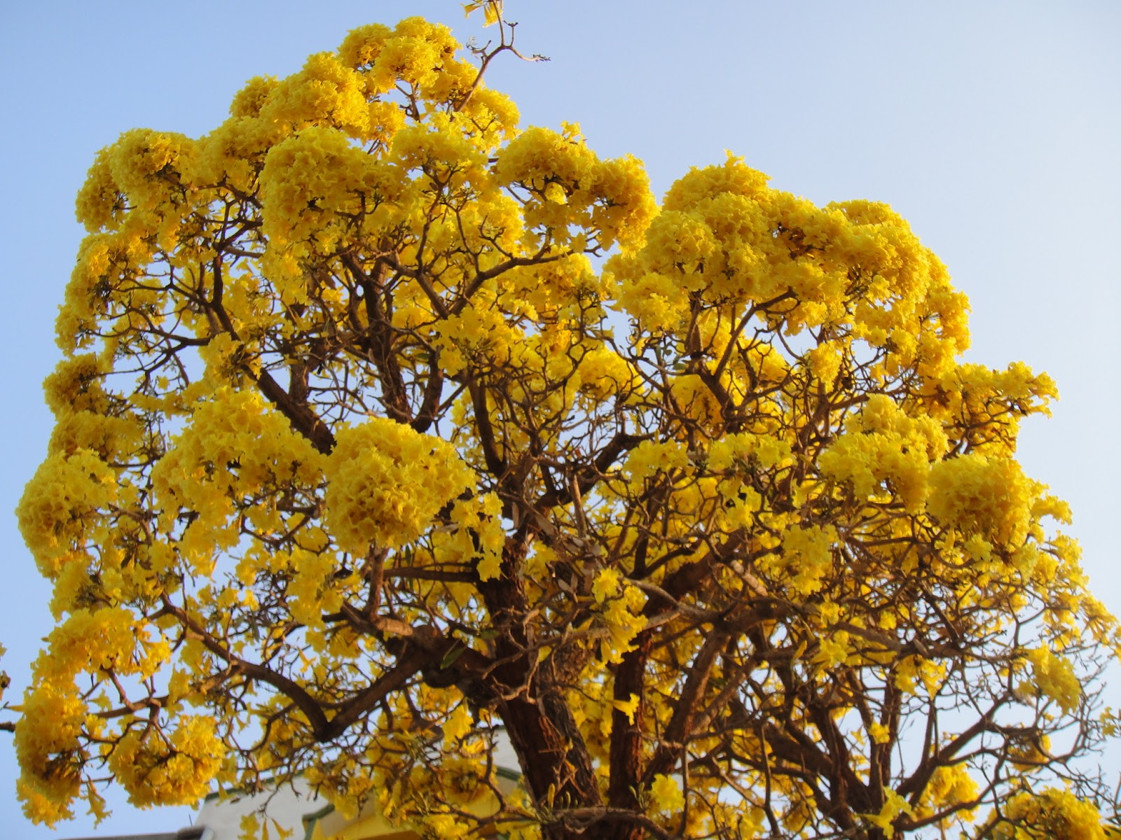 Top 25 Most Beautiful Flowering Trees of India