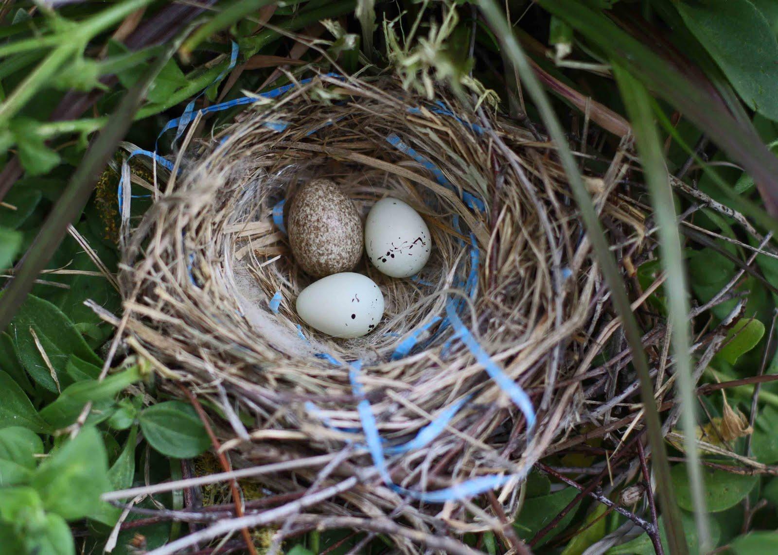 Purple Finch Nest Purple Finch Eggs