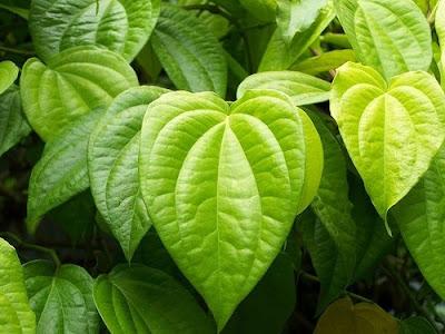 Disease Diagnosed by Betel Leaf