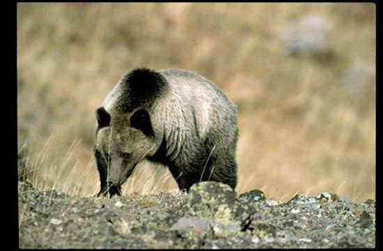 Wildlife in Yellowstone