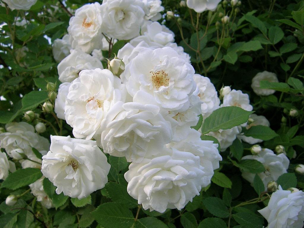 50 Gambar Mawar Putih Yang Cantik Sealkazz Blog