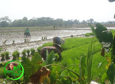 Babut yaitu mencabut bibit padi dari penyemaian atau pawinian