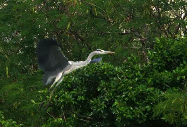 bird, Grey Heron, flying, Okinawa