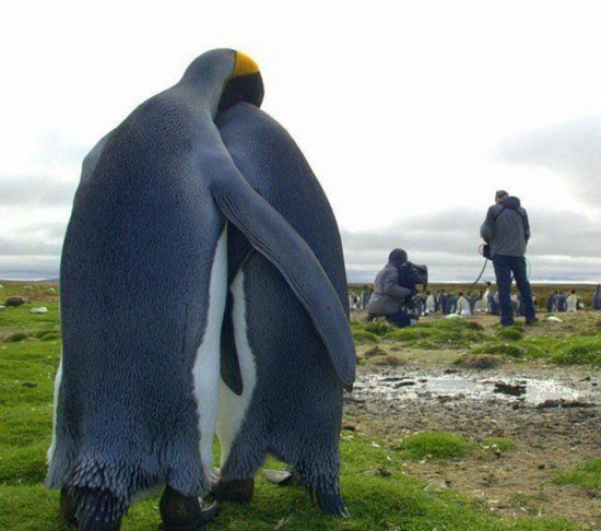 couple Penguin