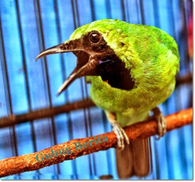 Burung Cucak Ijo