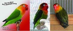 mengupas tuntas lovebird pastel kuning dan hijau