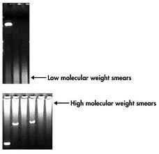 PCR Product smear gel