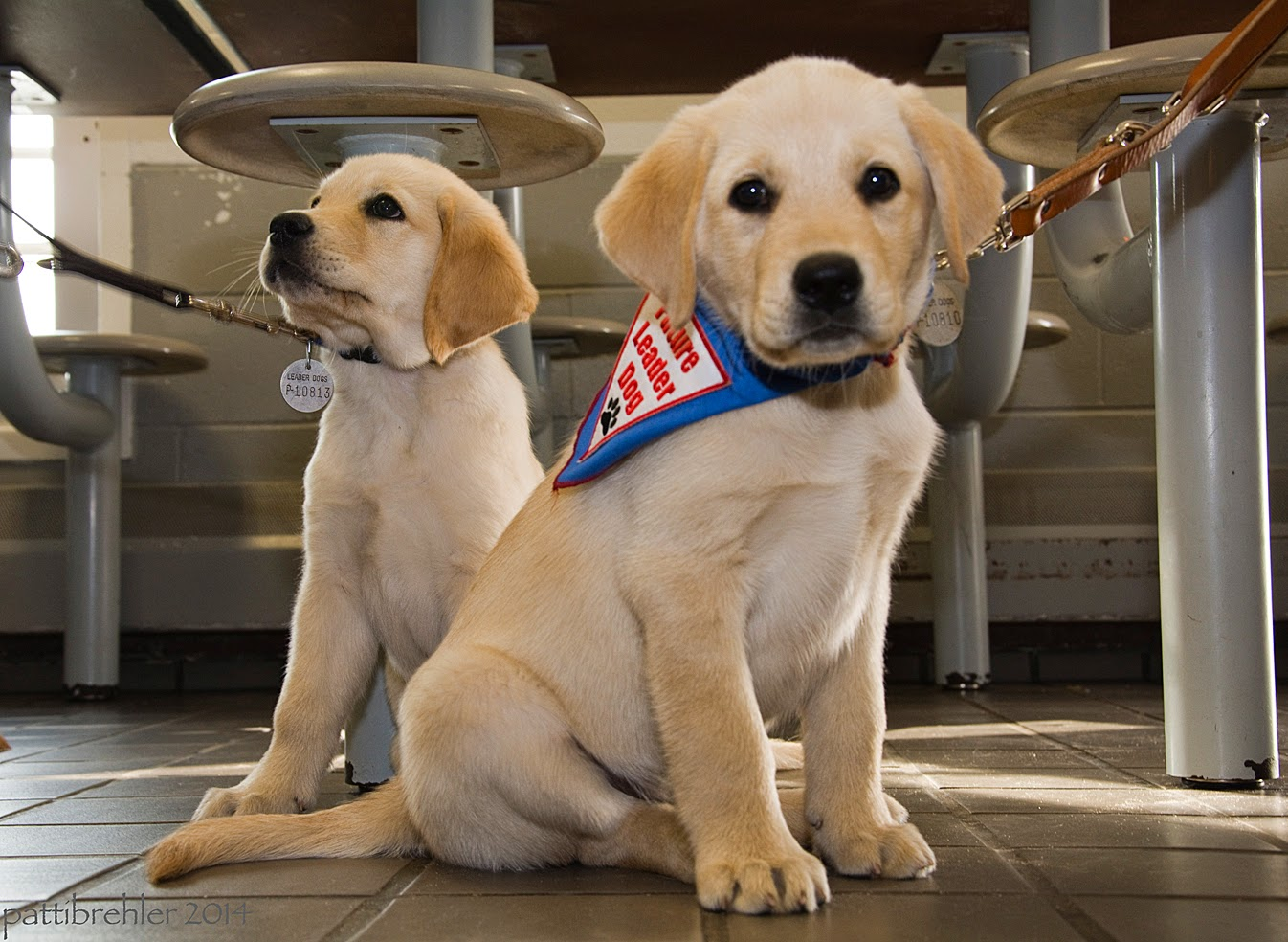 Two small yellow lab/golden retriever puppies are sitting on at tile floor like bookends. They are brothers and look like it. The puppy on the right is slightly ahead of the other and is looking right at the camera. He is wearing the blue Future Leader Dog bandana and his leash is going off to the right. The puppy on the left, slightly behind the other puppy, is looking up toward where his leash is going off to the left. There are stools behind the two puppies.