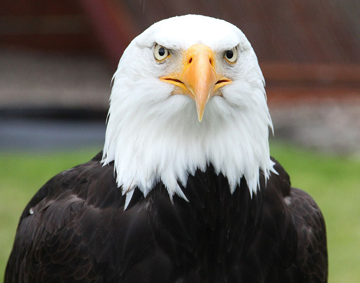 Bald Eagle Balding What Are You Gonna Do About It And The Emotional Phases Of Hair Loss