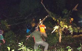 Pohon Beringin Tumbang di Wonosobo