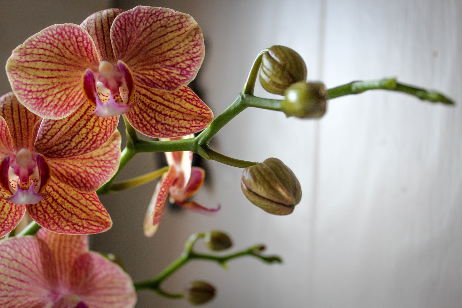 Care tip tuesday phalaenopsis orchid plants vannoort events for Orchidea phalaenopsis cura