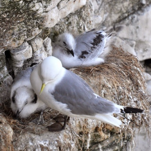 kittiewake with chicks on nest