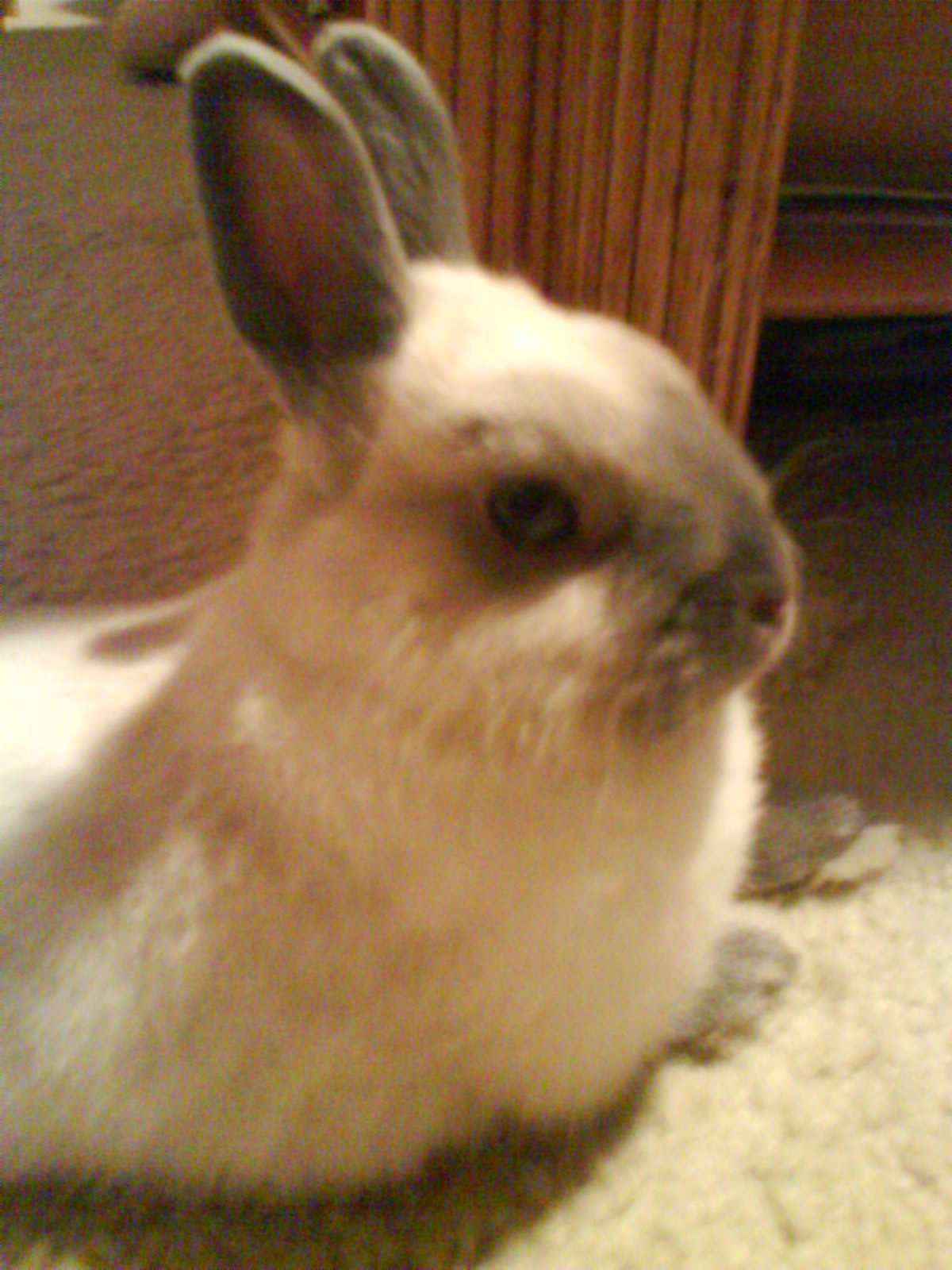 brown dwarf baby rabbits - photo #17