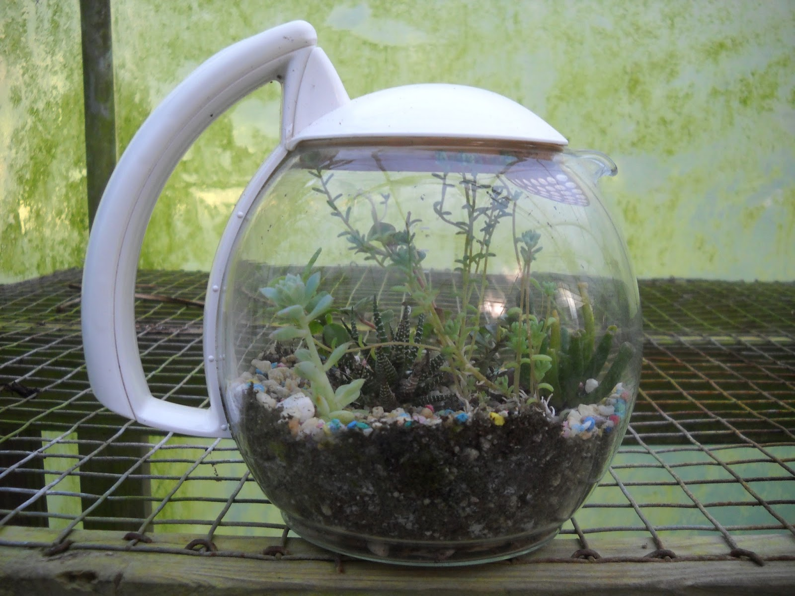 Gold Hill Plant Farm Terrariums Made From Coffee Pots