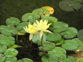 Amazing Yellow Water Lily Flower