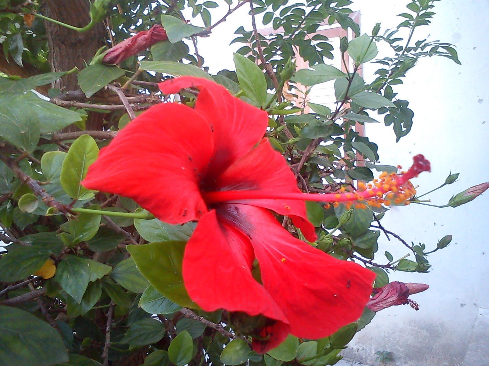 Awesome Maladies Des Hibiscus De Jardin Photos - Awesome Interior ...