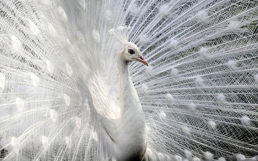 Biały paw