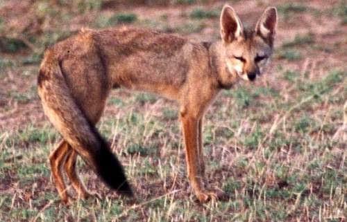 Bengal fox (Vulpes bengalensis)