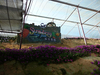 lavender garden, cameron highlands, strawberry pick