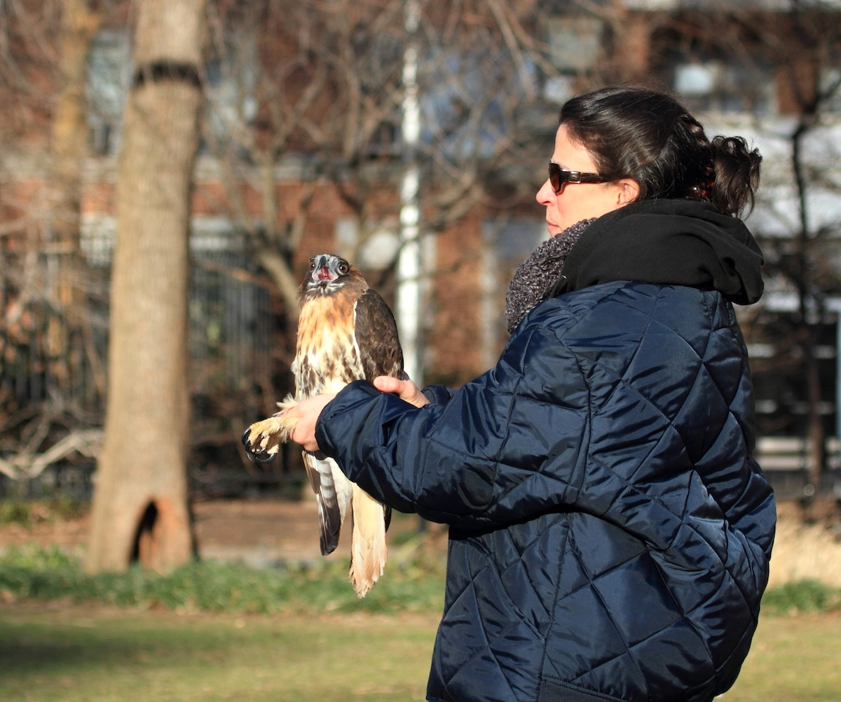 Cathy Horvath of WINORR holding a Hawk before release