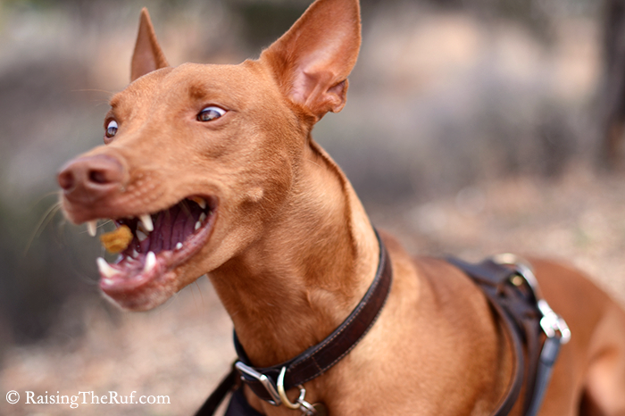 Pharaoh Hound dog funny catching treats