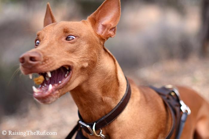 Pharaoh Hound dog funny catching treats