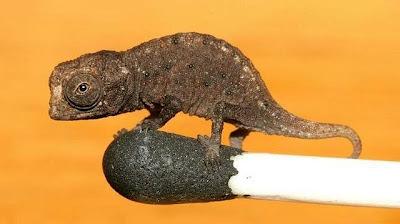 camaleón más pequeño del mundo