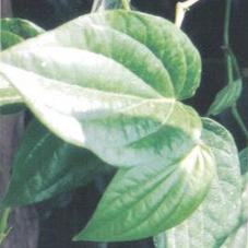 manfaat daun sirih untuk kesehatan kandungan manfaat daun sirih untuk ...