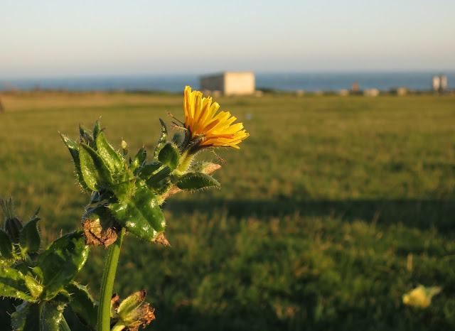 Plant with yellow flower; grass and sea beyond.
