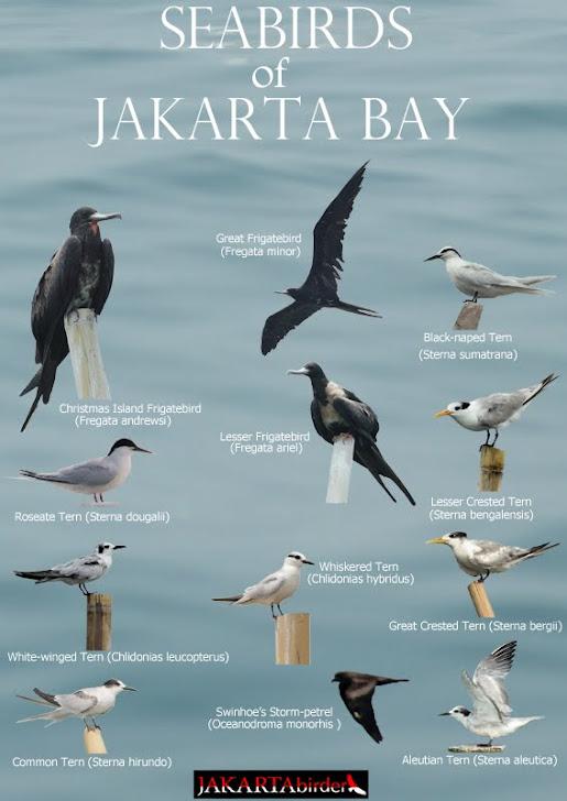 Seabirds of Jakarta Bay