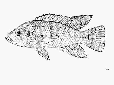 peces extintos Haplo del lago Chana Ctenochromis pectoralis