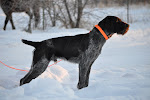Bosco vom Red-Rock  available for stud