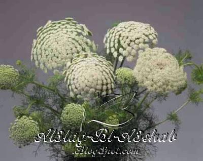 العلاج بالاعشاب+فوائد+نبات+الخله+الطبيعيه+الطبيه