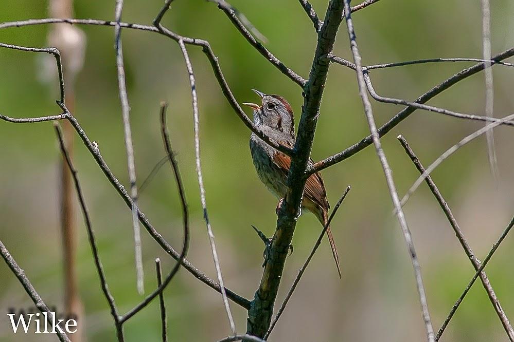 Swamp Sparrow at Grobschmidt Park
