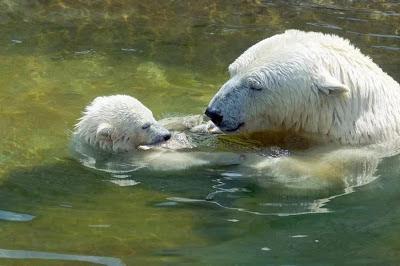 oso polar padre oso polar chico