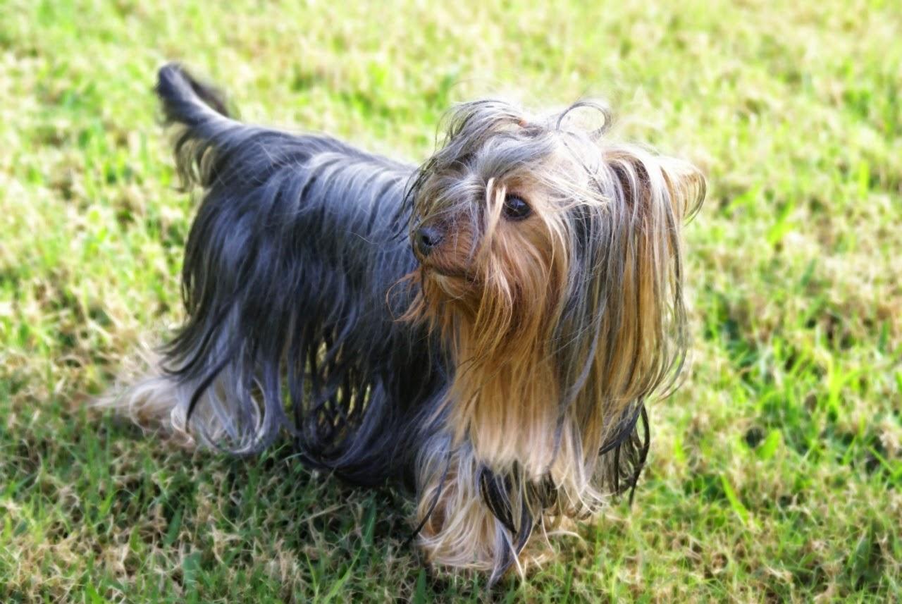 gambar hewan Yorkshire Terriers binatang dari huruf Y